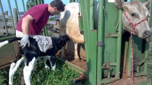 Here's an old picture of Dixie in the squeeze chute, with Scott grafting a new calf to her. She doesn't look too stressed.