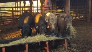 heifer_calves_cropped